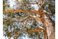 Eucalyptus Globulus Bio