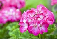 Geranium rosat Bio